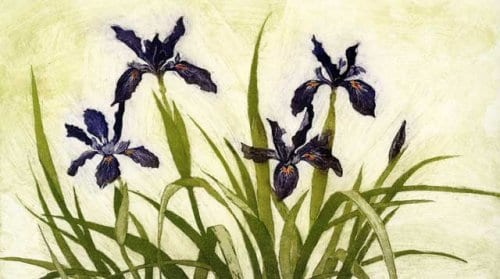Martin Iris Douglasiana 7x12 etching with aquatint unframed