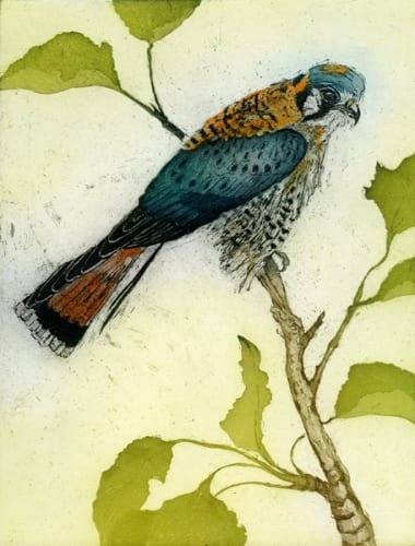 Martin Kestrel 11x8 etching with aquatint unframed